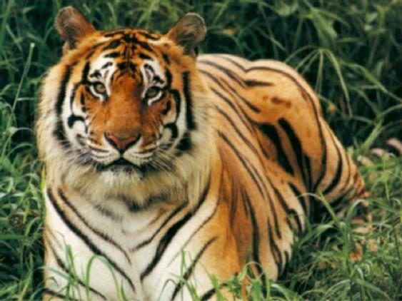 tigreroyaldubengale.jpg